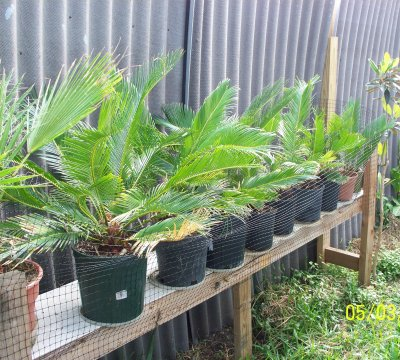 Cycas revoluta pot sizes effect on plant size